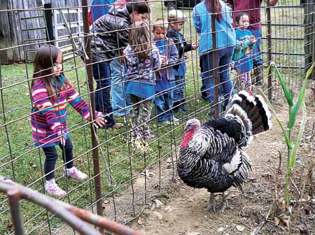 Star Photo/Abby Morris-Frye  A student tosses some corn feed to a turkey at the Drop Farm.
